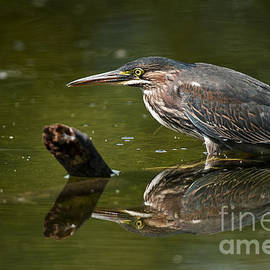 Heron  Images - Green Heron Pictures  31
