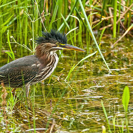 Heron  Images - Green Heron Pictures  35