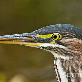 Heron  Images - Green Heron Pictures  36