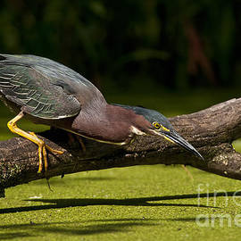Heron  Images - Green Heron Pictures  4