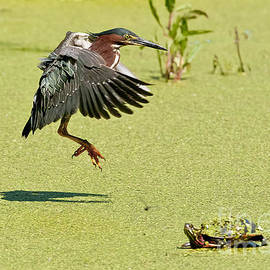 Heron  Images - Green Heron Pictures  7