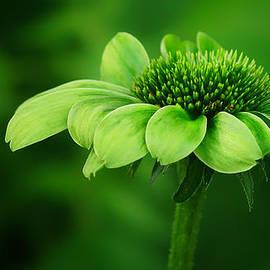 Nikolyn McDonald - Green Jewel - Cone Flower - Echinacea