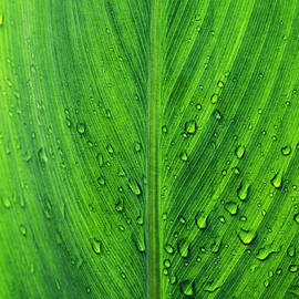 Vishwanath Bhat - Green leaf macro with water drops