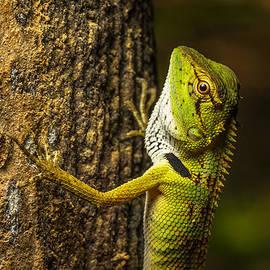 Ron Bennett - Green Lizard Climbing a Tree