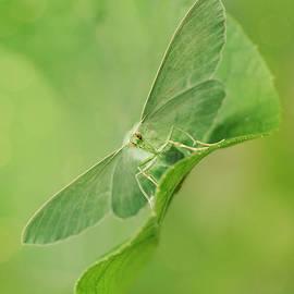 Jaroslaw Blaminsky - Green moth on the leaf