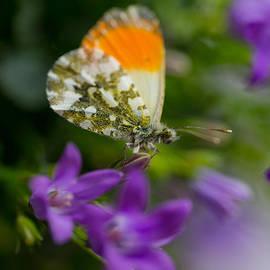 Jaroslaw Blaminsky - Green-orange butterfly sitting on the violet bells flowers