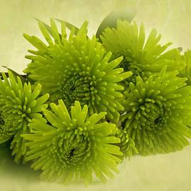 Sandra Foster - Green Spider Chrysanthemums