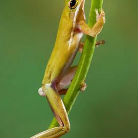 Jerry Fornarotto - Green Tree Frog Climbing