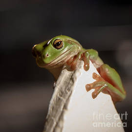 Peta Thames - Green Tree Frog Keeping an Eye on You