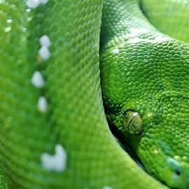 Cynthia Guinn - Green Tree Python