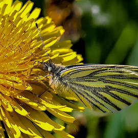 Leif Sohlman - Green-veined white butterfly collecting nectar from a flowering yellow dandelion.