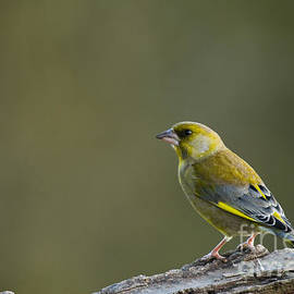 Anne Gilbert - Greenfinch