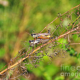 Al Powell Photography USA - Gregarious Grasshoppers