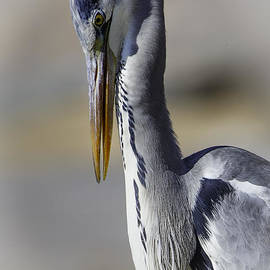 Rick Budai - Grey Heron Profile with soft background
