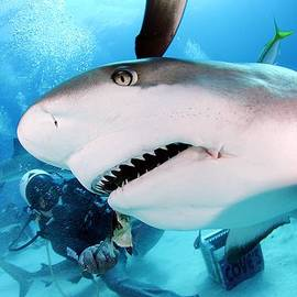 Liudmila Di - Grey Reef Shark