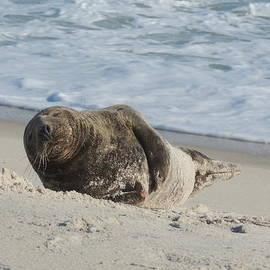 Kimberly Perry - Grey Seal Pup on Beach