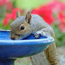 Carla Mason - Grey Squirrel Finds Refreshment