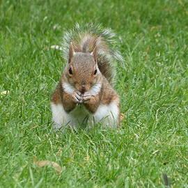 Sharon Bennett - Grey squirrel