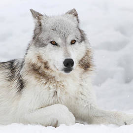 Athena Mckinzie - Grey Wolf In Winter Snow