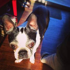 Shawn McNulty - Griffin The #bostonterrier Likes The
