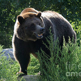 Gary Gingrich Galleries - Grizzly-7759