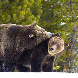 Aaron Whittemore - Grizzly Courtship