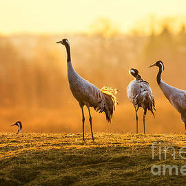 Stefan Holm - Group of crane birds in the morning on wet grass