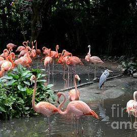Imran Ahmed - Group of flamingos and lone heron in water