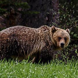 Jordan Blackstone - Grumpy Young Grizzly