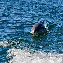 Kristina Deane - Gulf Coast of Mexico Dolphin