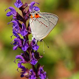 Christina Rollo - Hairstreak Butterfly