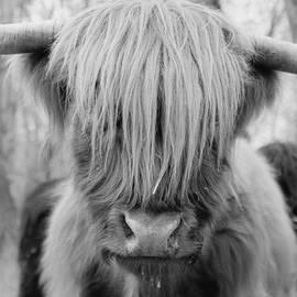 Stephanie McDowell - Scottish Highland Hairy Cow