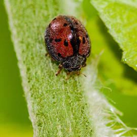 Craig Lapsley - Hairy Ladybug