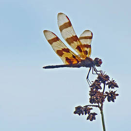 Mother Nature - Halloween Pennant Dragonfly - Celithemis eponina