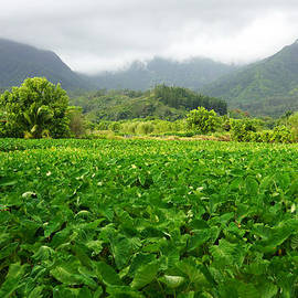 Kevin Smith - Hanalei Taro Farm