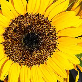 Kathy Liebrum Bailey - Happy Sunflower