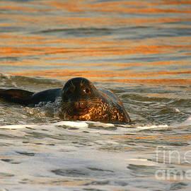 John Tsumas - Harbor Seal Sunset