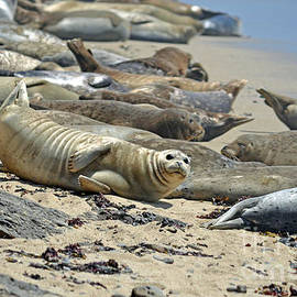 Jim Fitzpatrick - Harbor Seals Lounging on the Beach at Fitzgerald Reserve