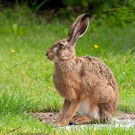 Torbjorn Swenelius - Hare Profile