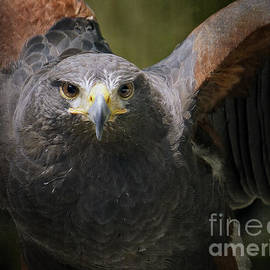 Inge Riis McDonald - Harris Hawk