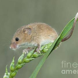 Philip Pound - Cute Harvest Mouse