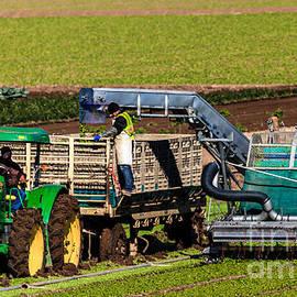 Robert Bales - Harvesting Spinach