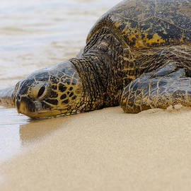 Brian Harig - Hawaiian Green Sea Turtle 3