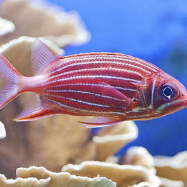 Maj Seda - Hawaiian Squirrelfish
