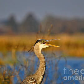 Al Powell Photography USA - Hawking Heron