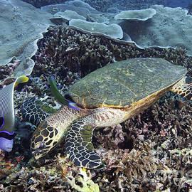 Anthony Totah - Hawksbill sea turtle