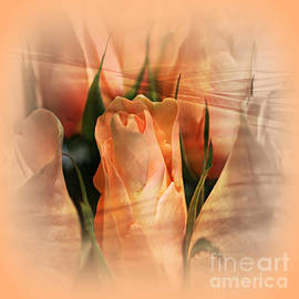 Judy Palkimas - Hazy Apricot Beauty Rose Abstract