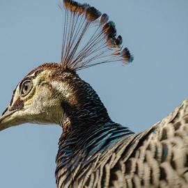 Dick Hudson - Head Feathers