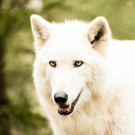 MaryJane Armstrong - Headshot of a White Wolf