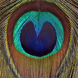 Debra Thompson - Heart of a Peacock Feather